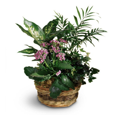 Pink Kalanchoe plant for delivery
