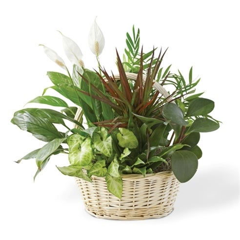 Dish garden delivery for a bereaved family or green plants in a basket