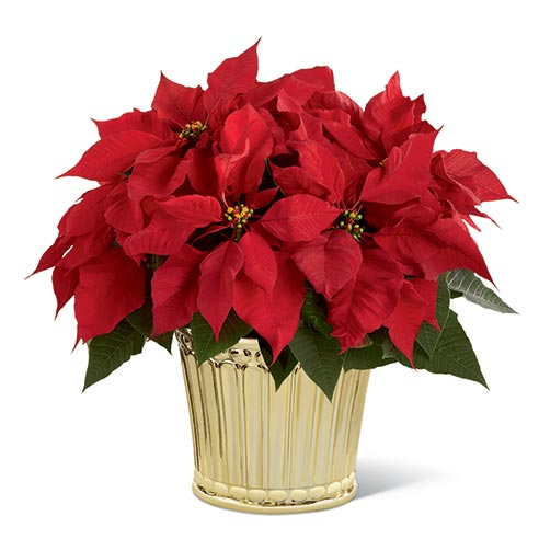 Red poinsettia planter from send flowers USA for flowers delivery