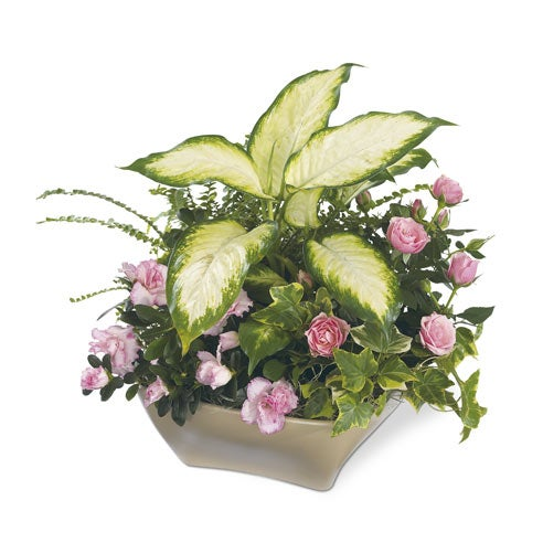 White ceramic potted pink azalea plant sympathy flower delivery