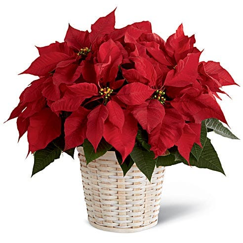 Red Poinsettia Plant For Delivery In White Basket From Send Flowers