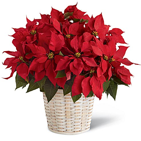 Large red poinsettia plant with cheap flowers free delivery