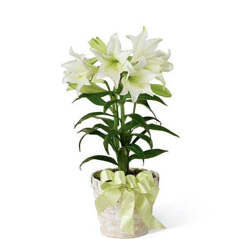 White Easter lily plant in a 6 inch diameter container