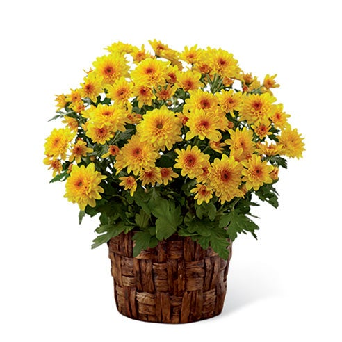 Mother's Day plants delivery yellow flowering plant with mum flowers
