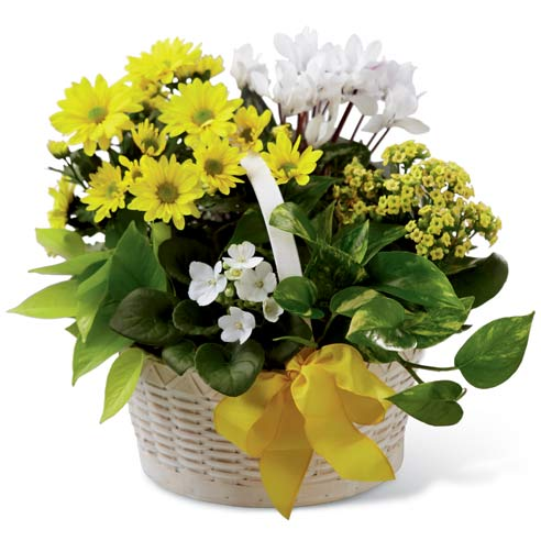 Yellow chrysanthemum plant & kalanchoe plant delivered in basket