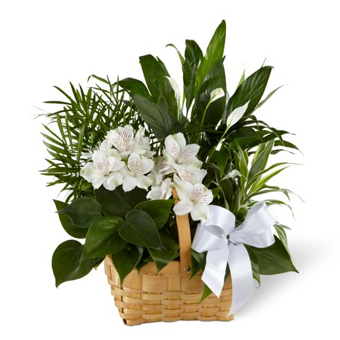 A collection of green plants accented by stems of white Peruvian lilies in a natural woodchip rectangular basket