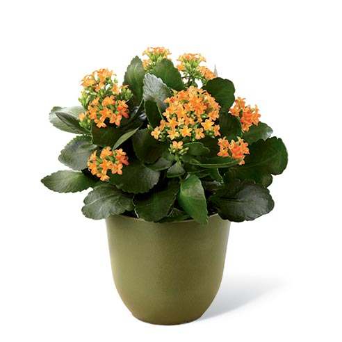 Kalanchoe plant delivery from send flowers com