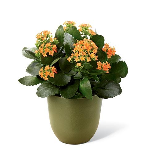 A 6 inch bright orange Kalanchoe plant amongst lush green foliage in a green biodegradable pot