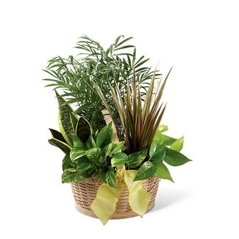 An assortment of six greens plants presented in a natural round woodchip basket with a yellow wired taffeta ribbon