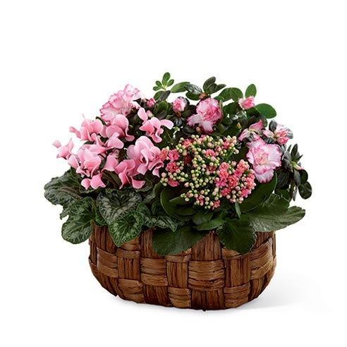 Pink cyclamen plant with pink azalea plant and pink calandiva plant