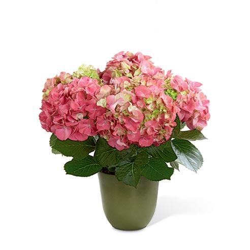 Pink hydrangea plants at send flowers, send a pink hydrangea plant same-day