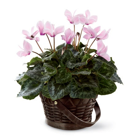 A pink cyclamen plant in a dark round woodchip handled basket