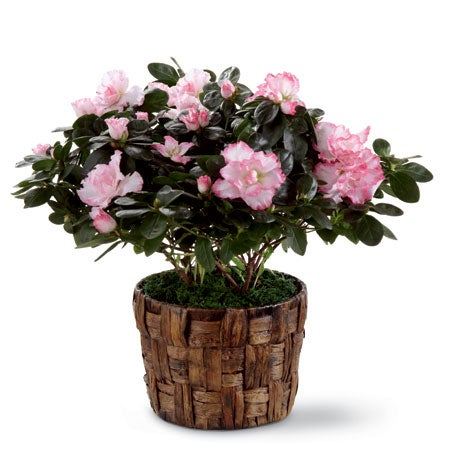A six inch pink azalea in a woven banana leaf potcover