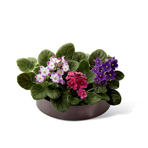 African Violet blooms in shades of pink & purple in graphic oval container