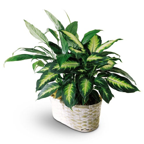 dieffenbachia plant in a whitewash double potcover