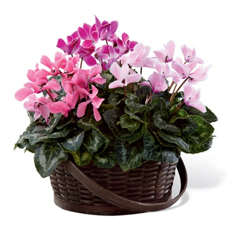 Three cyclamen plants in various pink shades are placed in a dark round woodchip handled basket