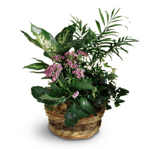 Pink Kalanchoe plant for delivery, same day plant delivery