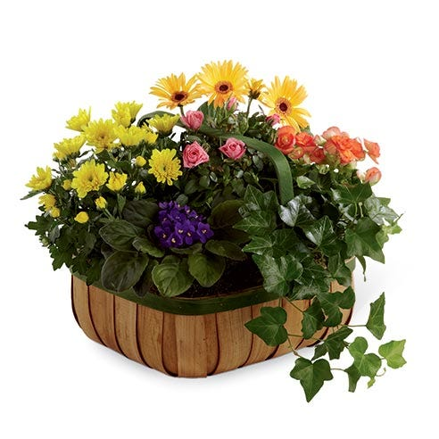 Colorful sympathy flowering plant basket featuring a yellow chrysanthemum plant, coral begonia plant, yellow gerbera daisy plant, and pink mini rose plant
