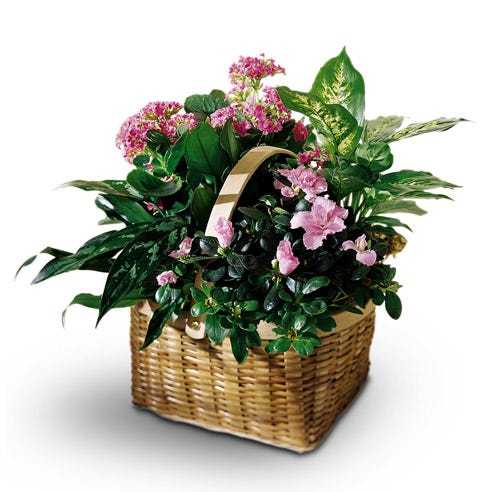 Pink Azalea plant and plant delivery when you order unique housewarming gifts