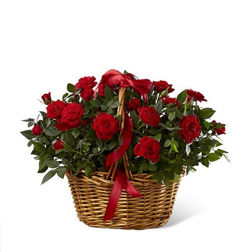 A basket with a red rose plant