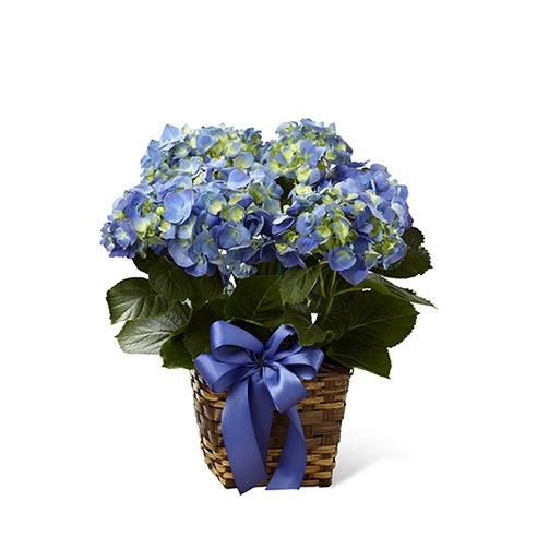 Six inch blue hydrange planter in square natural woven container accented with violet satin ribbon
