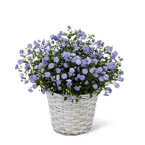 A 6 inch campanula plant in a whitewash woven container