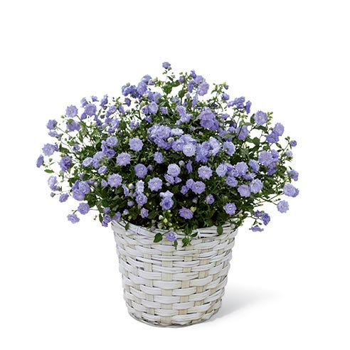 Blue Campanula At Send Flowers