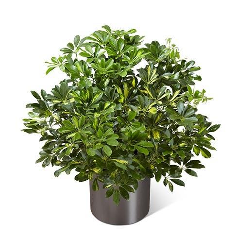 A 10 Inch Schefflera Arboricola Plant In A Round Graphite Container