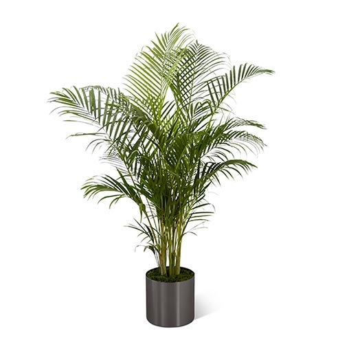 Big palm plant delivery from send flowers company, send a sympathy palm plant today