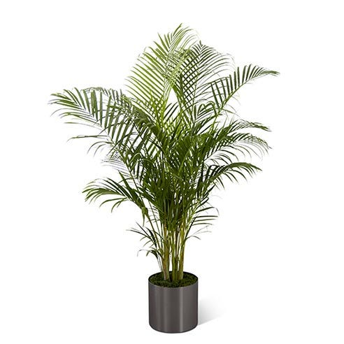 A 10 inch Palm plant in a round graphite container for same day plant delivery