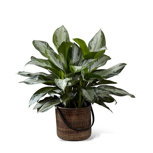 A 10 inch Chinese Evergreen plant in a round stained handled basket