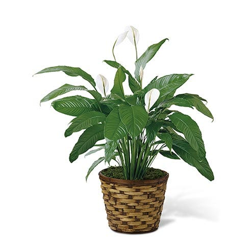 An 8 inch Spathiphyllum plant in a round woven container