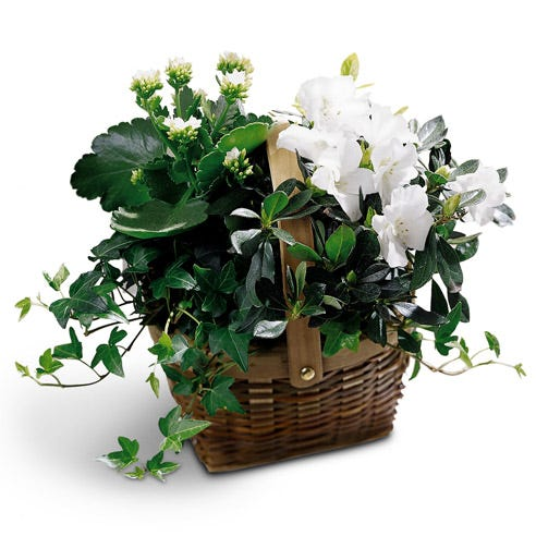 White kalanchoes and azalea plants in a basket