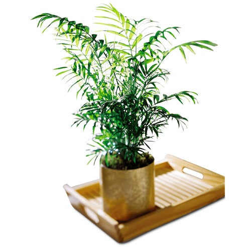 Indoor palm plant with keepsake planter