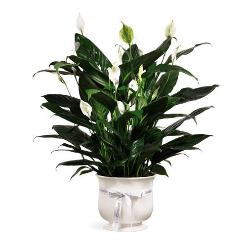 Sympathy peace lily plant delivery same day in white ceramic planter
