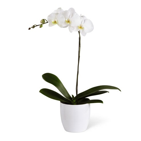 White orchid sympathy plant and funeral plant of white blossoms