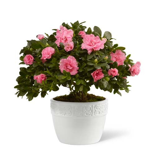 Pink Azalea plant in white ceramic container