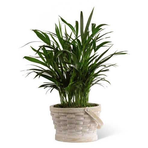 Sympathy palm plant, send someone a sympathy plant and palm plant at home