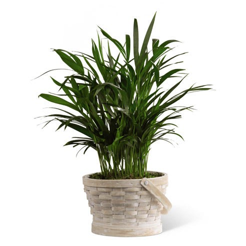 Sympathy palm plant in basket for delivery today