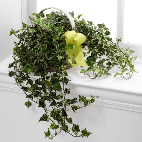 Ivy planter and discount ivy plant delivery from Send Flowers
