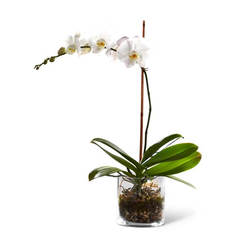 Single white orchid plant in a clear modern flower vase