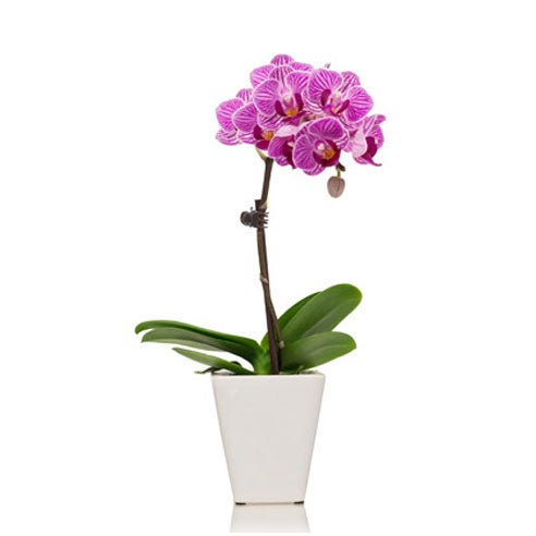 Pink orchid delivery from sendflowers with same day orchid delivery online
