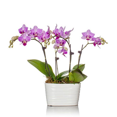 Pink Orchid delivery form sendflowers, orchid delivery same day with 4 stems