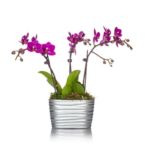Purple orchid delivery and same day plant delivery for purple orchids