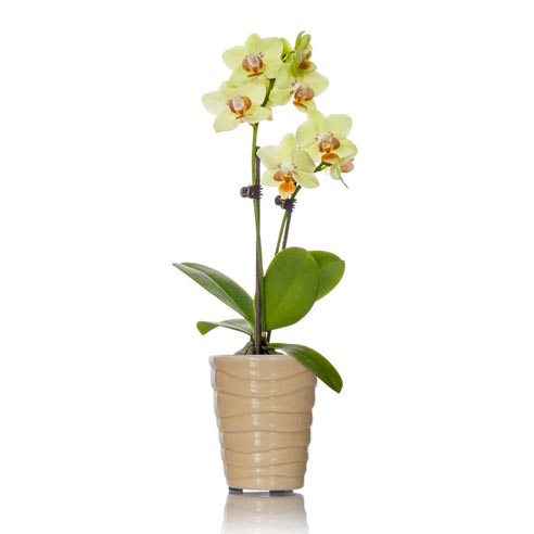 Graceful Mini Orchid