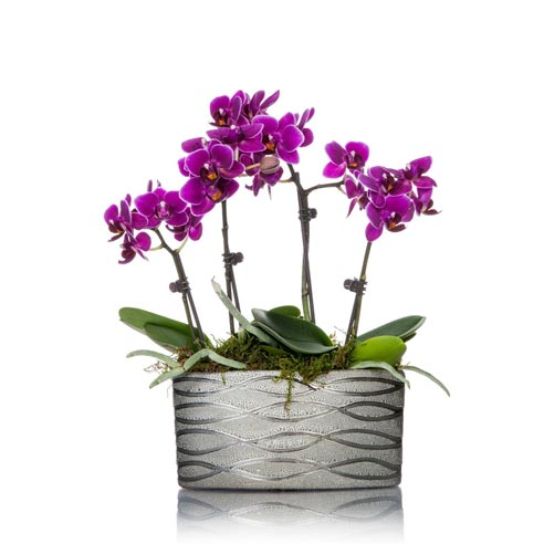 Quadrupple Stemmed Mini Magenta Orchid Planter