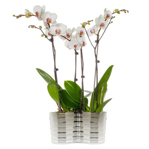 dendrobium phalaenopsis for sale, send phalaenopsis orchid and orchid plant