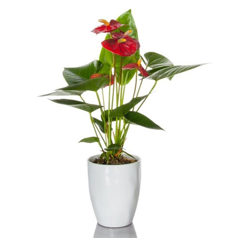 anthurium plants for sale, how to take care of anthurium plants