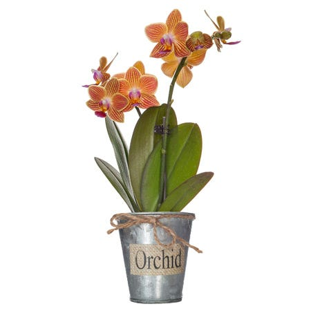 orange orchid delivery, send orange phalaenopsis orchids today