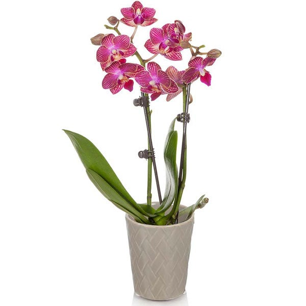 Pink orchid plant delivery, send flowers to the hospital today